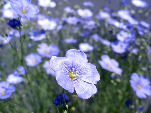 Blue Flax (Foto op Flickr van GemFireAir)