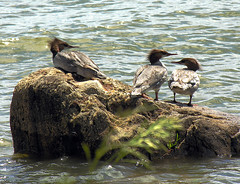 merganser mohawk (anniedaisybaby) Tags: park birds duck wildlife waterfowl inspire refuge lakewinnipeg merganzer heclaisland mikley theperfectphotographer icelandicforbigisland