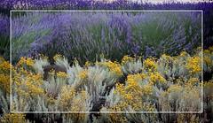 Verán na cidade. (Taboada Testa.) Tags: españa flores yellow spain flor violet valladolid amarillo violeta lavanda manzanilla