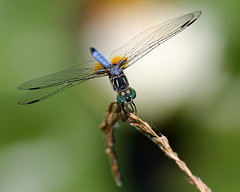 IMG_2569 (tonyadcockphotos) Tags: lake macro closeup insect pond dragonfly darter skimmer naturewatcher