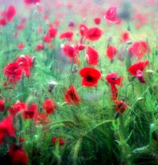 A Dream of Nature (Tobi_2008) Tags: flowers red rot nature natur blumen poppies picturesque mohn naturesfinest blueribbonwinner supershot flowerotica fineartphotos platinumphoto aplusphoto isawyoufirst memoriesbook theunforgettablepictures brillianteyejewel artlegacy coloursplosion goldstaraward multimegashot mygearandme