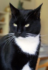 Cortez (Cajaflez) Tags: pet cute cat this kat chat picture tuxedo katze gatto cc300 cc200 cc100 abigfave bestofcats impressedbeauty 100commentgroup catnipaddicts boc0708