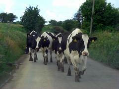 Countryside Traffic (Cian M) Tags: tractor west traffic cows cork bull herd killbrittan carraigdruid
