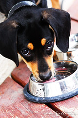 IMG_2238 (sohobutterfly) Tags: puppy angus doxle