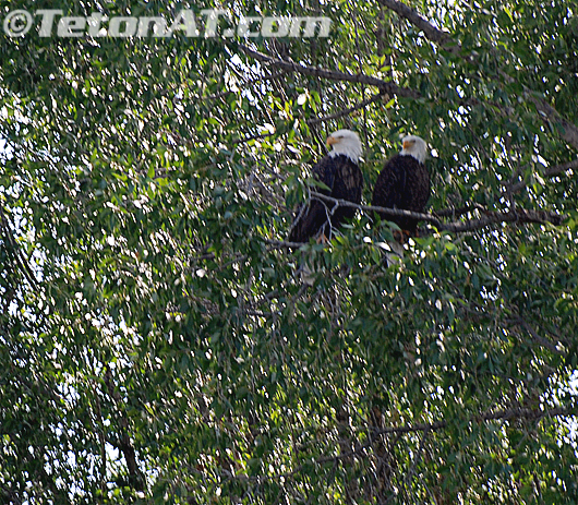 TetonAT.com Eagle 2