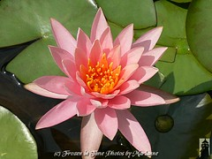 FBI: PINK WATER LILY AND A NEW BUD (Frozen in Time photos by Marianne AWAY OFF/ON) Tags: pink flowers flower nature waterlily waterlilies fbi thinkpink groundsforsculpture blueribbonwinner excellenceinfloralphotography excellenceinmacrophotography waterlilyandlotus favorites5 cherryontop flowerphotography flickrific nationalgeographicwannabes pinkalicious floweraddicts anawesomeshot diamondclassphotographer flickrdiamond flowerpicturesnolimits citrit citritartaward favoritesbyinterestingness flowersarebeautiful macroaward heartawards macroawards theperfectphotographer theperfectphotographeraward goldstaraward cherryontopphotography flowerloverspublicgroupforever natureunlimited flowersallkinds flickrsexquisiteshots flowersarefabulous natureunlimitedpublicgroupforever 6292008 thefeelofphotography theflowerbasketgroup flickrsexquisiteshots nationalgeographiswannabes