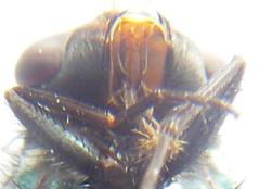 蒼蠅頭側面