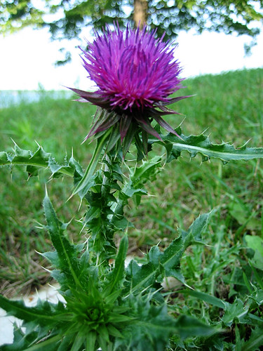 Sunday Thistle 2