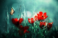 I Can Still Remember (Gilad Benari) Tags: flowers red abstract reflection green art texture nature water print poster surreal poppy poppies  gilad  windflower   windflowers    benari   flickrunitedaward