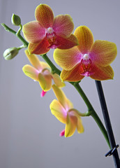 Philippe the Phalaenopsis Orchid (greenwood100) Tags: orchid floral french flora phalaenopsis bloom spike boissy vacherot lecoufle willitbedeadbychristmas