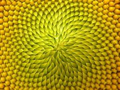 [フリー画像] 花・植物, キク科, 向日葵・ヒマワリ, 201005301900