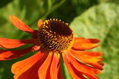 Flower (James Wagstaff) Tags: kent crouch platt