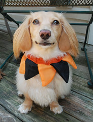 Honey (Doxieone) Tags: orange dog black cute english fall halloween long cream dachshund deck honey blonde 2008 haired 31 coll longhaired honeydog englishcream halloween2008 halloweenfall2008set