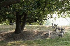 Waddling Geese #2. (absencesix) Tags: morning trees plants usa nature birds animals mi iso100 unitedstates michigan annarbor noflash september northcampus northamerica daytime canadiangeese 2008 ef2470mmf28lusm locations universityofmichigancampus 70mm waddling timeofday canoneos30d artarchitecturebuilding camera:make=canon exif:make=canon exif:iso_speed=100 exif:focal_length=70mm activityaction apertureprioritymode september32008 selfrating2stars annarbormiusa 1100secatf40 geo:countrys=usa exif:lens=ef2470mmf28lusm exif:model=canoneos30d camera:model=canoneos30d geo:city=annarbor exif:aperture=ƒ40 subjectdistanceunknown geo:state=mi