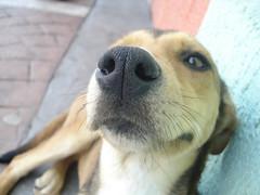 Curiosa (Douglas Morrison.) Tags: dog macro cão cachorro cheirando nariz ibiúna douglasmorrison