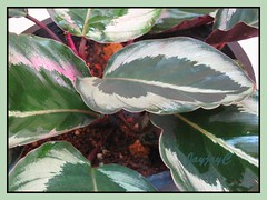 Variegated foliage of Calathea rosea picta 'Eclipse' at our courtyard, November 2006
