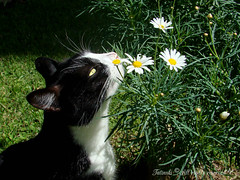 hummm, I like it! (Kitty & Kal-El) Tags: pet flower macro nature cat feline natureza kitty tuxedo gato gata tuxedocat felina mywinners