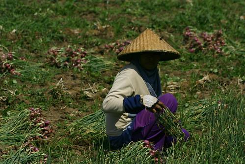 bawang merah Sumbawa
