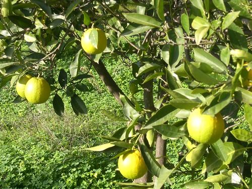 yellow oranges fournes hania chania