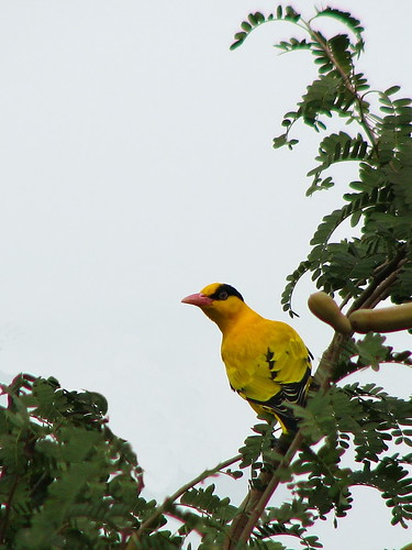 Black Naped Oriole Male