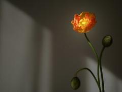 One bloom for a new year's day (tanakawho) Tags: shadow hairy orange plant flower macro texture nature sunshine yellow wall stem dof bokeh petal poppy gloom bud fabulous crinkle tanakawho