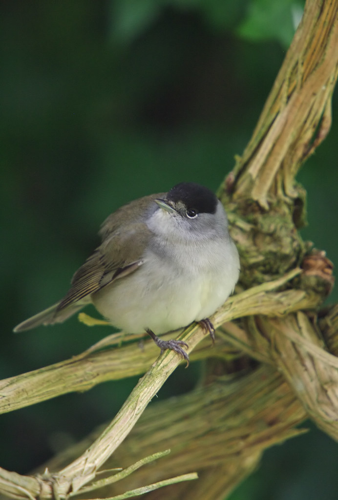 New Years Blackcap