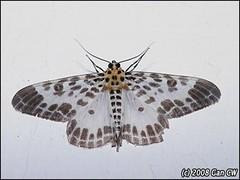 Enn-Pogonopygia sp-FH200805-N8870-480 (Green Baron Pro) Tags: moth 200805 frasershill ennominae geometridae malaysia