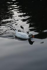 A passeggio nello stagno (Girovagando) Tags: pool glare gosling acqua animalplanet riflesso papera stagno scattifotografici