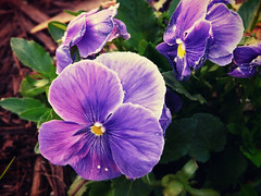 2/365 - Perfect Purple Passion (Sherie Beth) Tags: flower garden purple pansies blueribbon mywinners pfogold topazadjust 2009inphotos