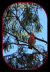Galah (Craig Hall Photography) Tags: xmas tree pub country australia christmastree nsw newsouthwales galah pinkcockatoo
