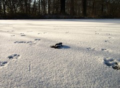 bad luck (odyssey83) Tags: schnee winter snow spur pond frost dof frog teich frosch raureif footstep whitefrost zugefroren icebound