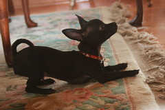 IMG_0214.JPG (alitunnell) Tags: chihuahua dogs nibbler