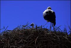 quando si mangia? (senzaspazio) Tags: blu bleu cielo marocco nido azzurro piume cicogna