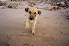 - (micampe) Tags: dog fuji voigtlander maroc essaouira 25mm sabbia skopar leicacl pro400h