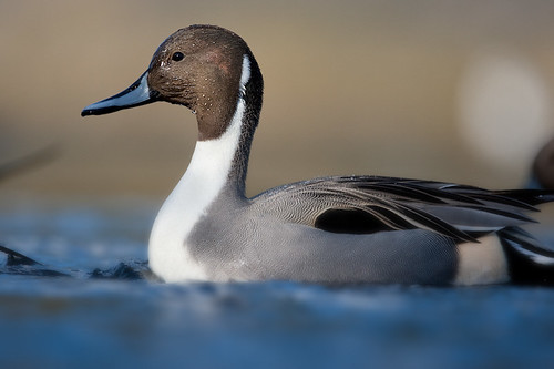 20090125-pintail duck3
