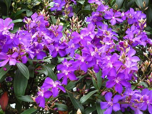Quaresmeira roxa tibouchina granulosa flowers ceret park sao quaresmeira roxa tibouchina granulosa flowers ceret park sao paulo brazilian native mightylinksfo