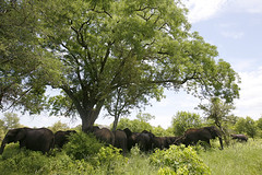 Elephants in Shade