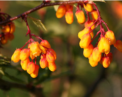 Coming soon - this year's Berberis (Mukumbura) Tags: flowers orange macro spring colourful berberis mywinners spring2008 natureselegantshots awesomeblossoms