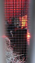 Shama & Tate check each other out! -130 (RoxandaBear) Tags: winter cold glow mesh tate heater nationalzoo february reds 2009 shama introduction redpandas 2509 asiatrail tates1stday tateshama