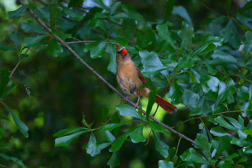 Mama Cardinal watching me very intently