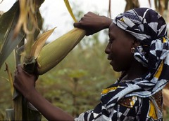 Woman harvesting high yielding maize variety in her farm