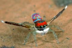 _MG_6755 peacock spider Maratus splendens (Jurgen Otto) Tags: spider peacock volans maratus mg3312