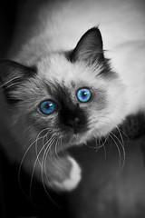 The Feline Expression Part 3 (Ruben Mascaró Photography) Tags: pet white animal cat canon feline blueeyes australia brisbane qld queensland 30d canon30d canonef70200mmf4lusm