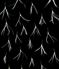 44984 Chionanthus virginicus (horticultural art) Tags: flowers pattern negativespace getty horticulture fringetree chionanthusvirginicus horticulturalart chonanthus 154071360