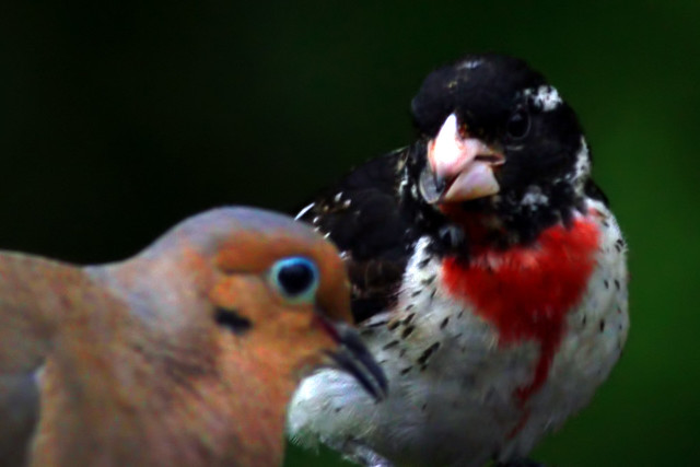 juvi redbreasted grosbeak 4