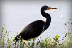 Bird - Tri-colored Heron (blmiers2) Tags: bird heron nature beautiful birds geotagged nikon florida wildlife avian tricoloredheron egrettatricolor phalacrocoracidae birdphoto d40x blm18 blmiers2