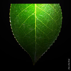 una foglia (rita vita finzi) Tags: green art texture nature lines leaf perfect gallery photographer photos fine excellent veins foglia awards soe natures onblack the supershot flickrsbest mywinners abigfave impressedbeauty superbmasterpiece infinestyle diamondclassphotographer theunforgettablepictures brilliant~eye~jewel overtheexcellence betterthangood thegoldendreams goldstaraward goodnightsweetheartmmuahhh gooddaysweetfriendmmmuahhh alemdagqualityonlyclub