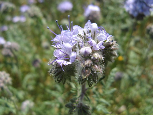 Fuzzy purple phacelia