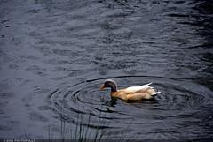 untitled (photopolly) Tags: park atlanta white georgia duck darkwater piedmontpark piedmont whiteduck photopolly