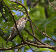 Gray-spotted (streaked) Flycatcher (Rey Sta. Ana) Tags: wild bird birds wildlife philippines manila rey avian palawan wildbirds mantarey candaba staana